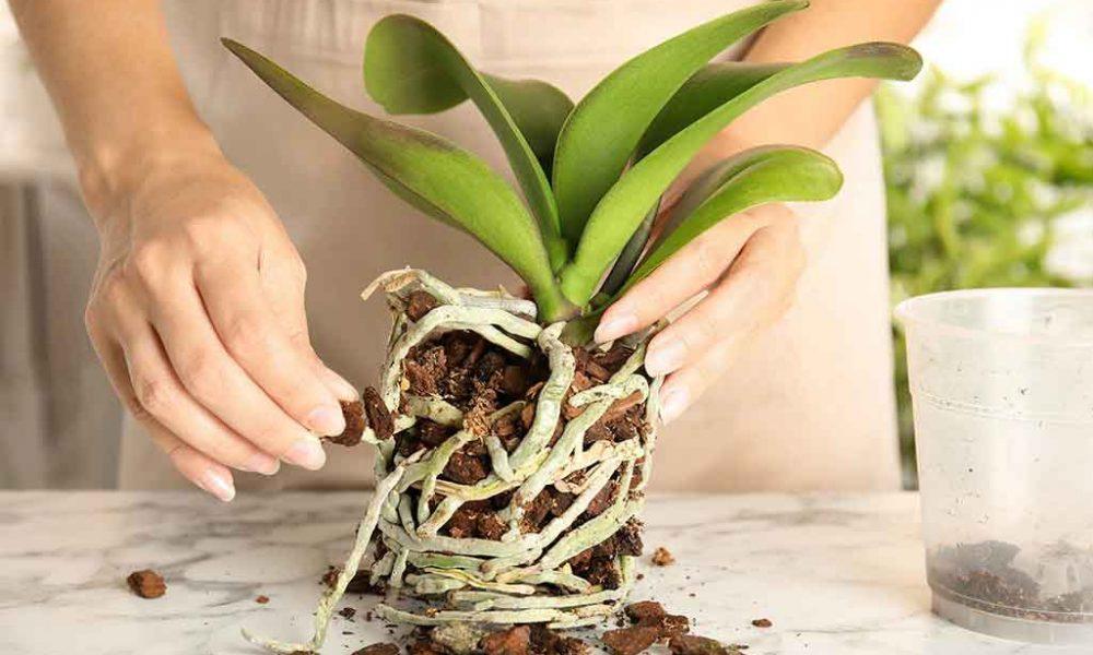 orkide toprağı ne zaman değişir